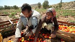 Ethiopian man and girl sorting tomatoes